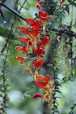 Flying Goldfish Plant (Columnea microcalyx), Monteverde Cloud Forest Reserve, Costa Rica  -  Michael & Patricia Fogden