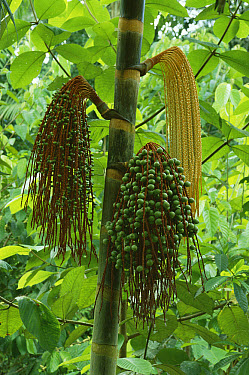Palm (Oenocarpus sp) flowers and fruit, pericarp are used for oil and what is known as the cabbage or heart of palm is edible, terra firma forest along rivers, Amazon rainforest, Peru  -  Michael & Patricia Fogden