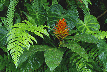 Spiral Flag (Costus sp) ginger in cloud forest understory, Costa Rica  -  Michael & Patricia Fogden