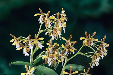 Orchid (Oerstedella exasperata), Monteverde Cloud Forest Reserve, Costa Rica  -  Michael & Patricia Fogden