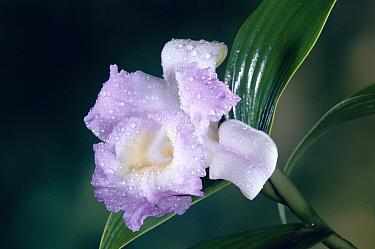 Orchid (Sobralia sp) portrait, single flower with dew drops, Costa Rica  -  Michael & Patricia Fogden