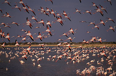 Greater Flamingo (Phoenicopterus ruber) flocks flying over and feeding in water, Namutoni, Etosha National Park, Namibia  -  Michael & Patricia Fogden