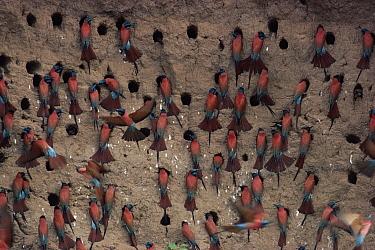 Carmine Bee-eater (Merops nubicus) breeding colony, savannah, north Cameroon  -  Michael & Patricia Fogden