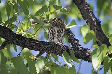 Pearl-spotted Owlet (Glaucidium perlatum) perching in tree, Etosha National Park, Namibia  -  Michael & Patricia Fogden