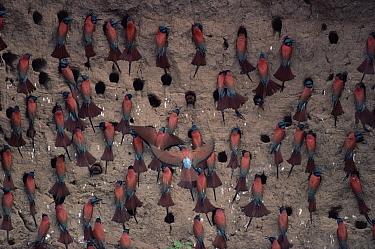 Carmine Bee-eater (Merops nubicus) breeding colony, savannah, Cameroon  -  Michael & Patricia Fogden