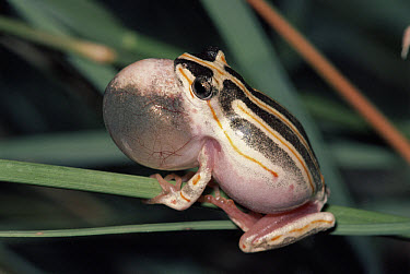 Painted Reed Frog (Hyperolius marmoratus) male calling from seasonal pond, savannah, South Africa  -  Michael & Patricia Fogden
