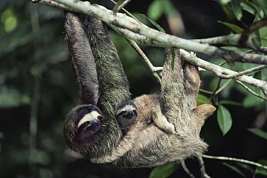 Brown-throated Three-toed Sloth (Bradypus variegatus) female carrying baby, symbiotic green algae growing in hair, rainforest, Panama  -  Michael & Patricia Fogden
