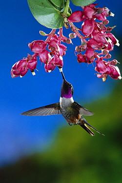 Magenta-throated Woodstar (Calliphlox bryantae) hummingbird male feeding at and pollinating Heath flowers (Cavendishia complectens) rainforest, Costa Rica  -  Michael & Patricia Fogden