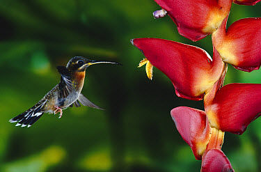 Band-tailed Barbthroat (Threnetes ruckeri) hummingbird visiting Heliconia (Heliconia pogonantha) lowland rainforest, Costa Rica  -  Michael & Patricia Fogden