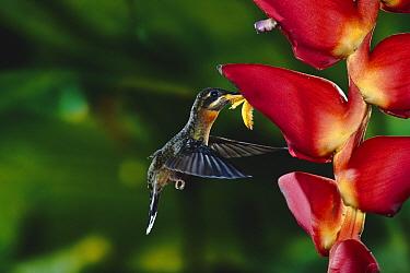 Band-tailed Barbthroat (Threnetes ruckeri) hummingbird feeding at and pollinating Heliconia (Heliconia pogonantha) lowland rainforest, Costa Rica  -  Michael & Patricia Fogden