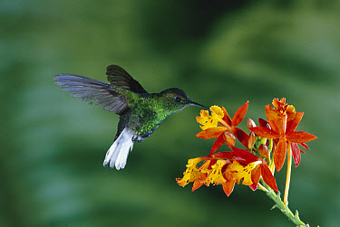 Coppery-headed Emerald (Elvira cupreiceps) hummingbird, flying, feeding on and pollinating a Crucifix Orchid (Epidendrum radicans) which mimics the flowers of Scarlet Milkweed, Asclepias curassavica  -  Michael & Patricia Fogden