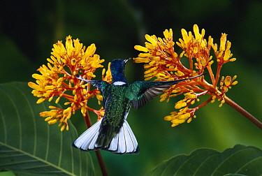 White-necked Jacobin (Florisuga mellivora) hummingbird male at Cappel (Palicourea sp) flowers in rainforest, La Selva Biological Research Station, Costa Rica  -  Michael & Patricia Fogden