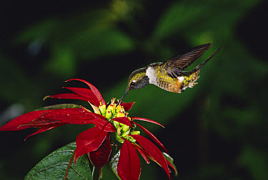 Magenta-throated Woodstar (Calliphlox bryantae) hummingbird male feeding at and pollinating Poinsettia (Euphorbia pulcherrima) flowers, cloud forest, Costa Rica  -  Michael & Patricia Fogden