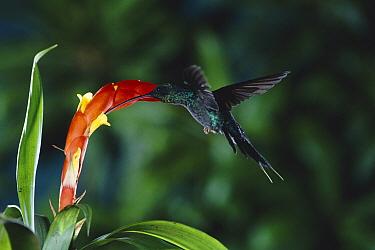 Green Hermit (Phaethornis guy) hummingbird feeding at and pollinating Bromeliad flower (Guzmania nicaraguensis) cloud forest, Costa Rica  -  Michael & Patricia Fogden