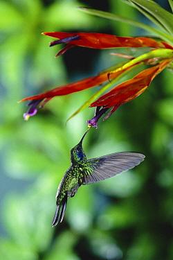Green Violet-ear (Colibri thalassinus) hummingbird feeding at and pollinating epiphytic Bromeliad (Tillandsia multicaulis) cloud forest, Costa Rica  -  Michael & Patricia Fogden