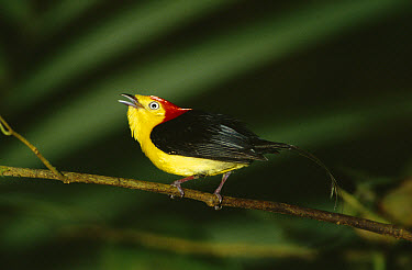 Wire-tailed Manakin (Pipra filicauda) male displaying from perch in Amazon rainforest, Peru  -  Michael & Patricia Fogden