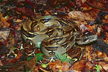 Boa Constrictor (Boa constrictor) on rainforest floor, Costa Rica  -  Michael & Patricia Fogden