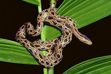 Panamanian Dwarf Boa (Ungaliophis panamensis) coiled around plant in rainforest, Costa Rica  -  Michael & Patricia Fogden