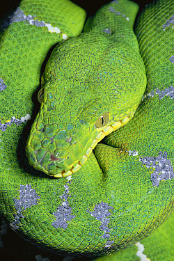 Emerald Tree Boa (Corallus caninus) portrait in rainforest, South America  -  Michael & Patricia Fogden