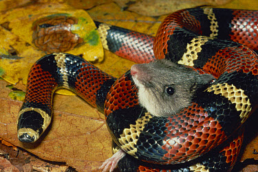 Milk Snake (Lampropeltis triangulum) a Kingsnake, harmless mimic of Coral Snake, constricting a Spiny Pocket Mouse (Heteromys sp) rainforest, Costa Rica  -  Michael & Patricia Fogden