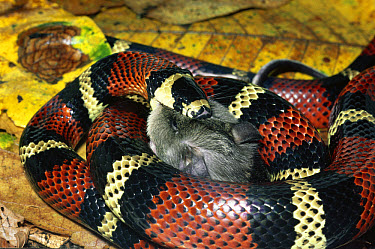 Milk Snake (Lampropeltis triangulum) a Kingsnake, harmless mimic of Coral Snake, constricting and eating a Spiny Pocket Mouse (Heteromys sp) rainforest, Costa Rica  -  Michael & Patricia Fogden