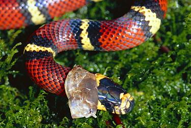 Milk Snake (Lampropeltis triangulum) a Kingsnake, shedding its skin, non-venomous mimic of Coral Snake, in the rainforest, Costa Rica  -  Michael & Patricia Fogden