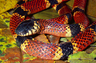 Clark's Coral Snake (Micrurus clarki) venomous snake with warning coloration, rainforest, Costa Rica  -  Michael & Patricia Fogden