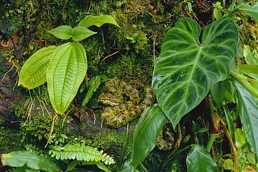 Eyelash Viper (Bothriechis schlegelii) camouflaged green morph waiting to ambush prey, rainforest, Costa Rica  -  Michael & Patricia Fogden