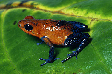 Strawberry Poison Dart Frog (Oophaga pumilio) female carrying tadpole on back, Costa Rica  -  Michael & Patricia Fogden