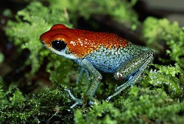 Granular Poison Dart Frog (Dendrobates granuliferus) portrait on moss in rainforest, Osa Peninsula, Costa Rica  -  Michael & Patricia Fogden