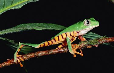 Tiger-striped Leaf Frog (Phyllomedusa tomopterna) or Barred Leaf Frog, in Amazon rainforest, Ecuador  -  Michael & Patricia Fogden