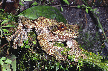 Cope's Brown Treefrog (Hyla miliaria) camouflaged in rainforest, Penas Blancas, Monteverde Cloud Forest Reserve, Costa Rica  -  Michael & Patricia Fogden