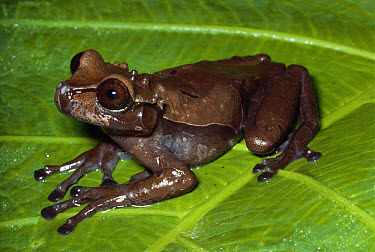 Crowned Frog (Anotheca spinosa) on leaf in cloud forest, Costa Rica  -  Michael & Patricia Fogden