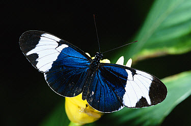 Sapho Longwing (Heliconius sapho) butterfly poisonous Mullerian mimic, in the rainforest, Costa Rica  -  Michael & Patricia Fogden