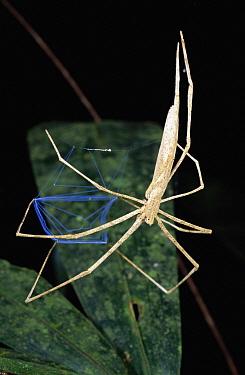 Ogre-faced Spider (Deinopis sp) in rainforest, Costa Rica  -  Michael & Patricia Fogden