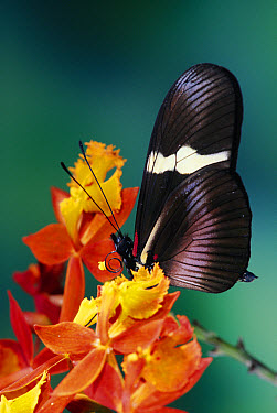 Passionvine Butterfly (Heliconius clysonimus) on Orchid (Epidendrum radicans) a mimic of Scarlet Milkweed, Asclepias curassavica and Largeleaf Lantana (Lantana camara), in the cloud forest, Costa Rica  -  Michael & Patricia Fogden