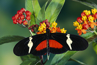 Passionvine Butterfly (Heliconius clysonimus) feeding at Scarlet Milkweed (Asclepias curassavica) which are mimicked by Shrub Verbena, Lantana camara and an Orchid, Epidendrum radicans, Costa Rica  -  Michael & Patricia Fogden