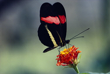 Crimson-patched Longwing (Heliconius erato) butterfly feeding on Lantana flower (Lantana sp) in the rainforest, Costa Rica  -  Michael & Patricia Fogden