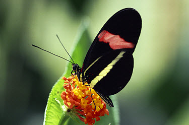 Crimson-patched Longwing (Heliconius erato) buttterfly feeding on Lantana flower (Lantana sp) in the rainforest, Costa Rica  -  Michael & Patricia Fogden