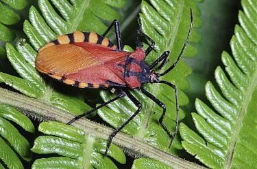 Assassin Bug (Reduviidae) in the rainforest, Costa Rica  -  Michael & Patricia Fogden