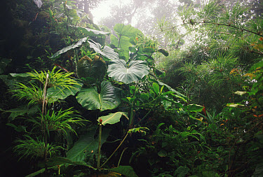 Elephant Ears (Xanthosoma robustum) and bamboo in cloud forest, Monteverde Cloud Forest Reserve, Costa Rica  -  Michael & Patricia Fogden