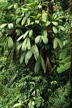 Epiphytic palms, montane rainforest, Monteverde Cloud Forest Reserve, Costa Rica  -  Michael & Patricia Fogden