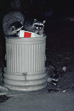 Raccoon (Procyon lotor) trio digging through grain, Olympic National Park, Washington  -  Michael & Patricia Fogden
