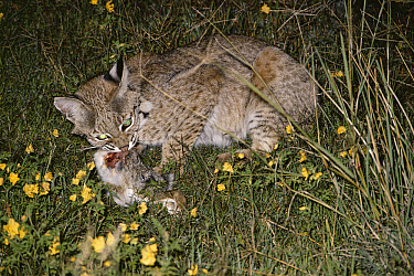 Bobcat (Lynx rufus) feeding on Desert Cottontail at night, Chihuahuan Desert, Mexico  -  Michael & Patricia Fogden