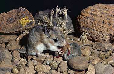 Southern Grasshopper Mouse (Onychomys torridus) feeding on Harvest Mouse, Chihuahuan Desert, Mexico  -  Michael & Patricia Fogden