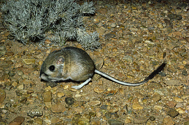Merriam's Kangaroo Rat (Dipodomys merriami) deserts of southwest North America and northern Mexico  -  Michael & Patricia Fogden