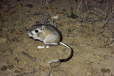 Bannertail Kangaroo Rat (Dipodomys spectabilis) in the desert, southwest North America  -  Michael & Patricia Fogden