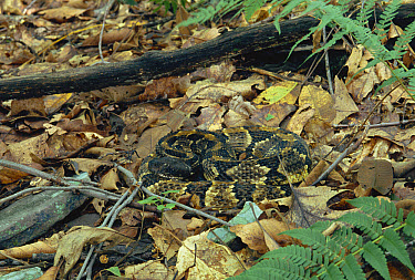 Timber Rattlesnake (Crotalus horridus) venomous snake camouflaged in leaf-litter in the Appalachian Mountains, Pennsylvania  -  Michael & Patricia Fogden