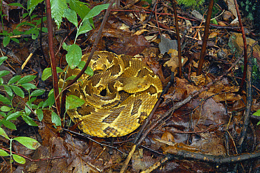 Timber Rattlesnake (Crotalus horridus) coiled on ground among leaf litter, Appalachian Mountains, Pennsylvania  -  Michael & Patricia Fogden