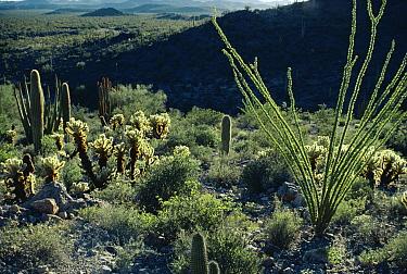 Sonoran Desert vegetation, Organ Pipe National Monument, Arizona  -  Michael & Patricia Fogden